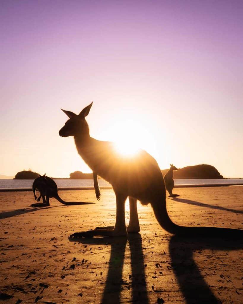 Cape Hillsborough Kangaroo Sunrise