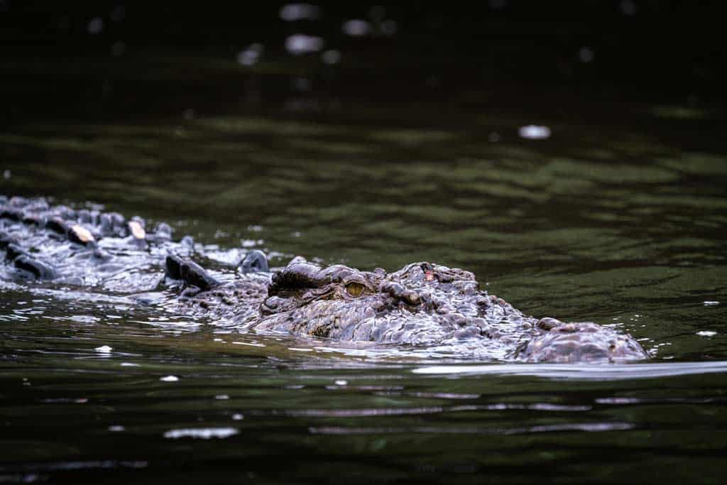 Scarface Crocodile Daintree River