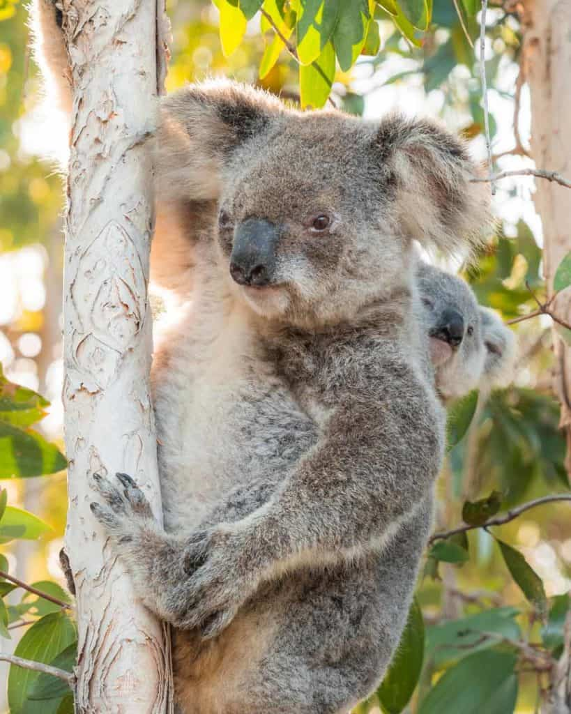 Koala in Tree with baby Magnetic Island 2
