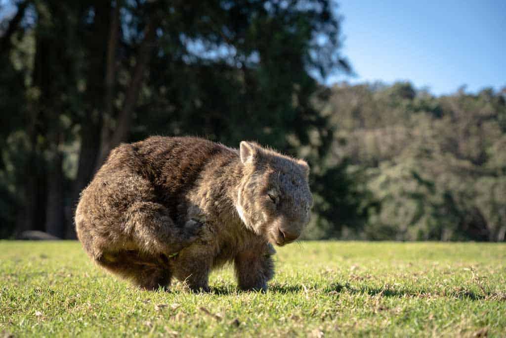 Scratching Wombat